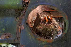 Song thrush (Turdus philomelos) nesting in an old abandoned Opel car in a 'car graveyard' Varmland, Sweden - Pal  Hermansen