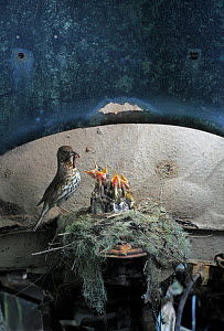 Song thrush (Turdus philomelos) feeding chicks at nest in old abandoned car, in a 'car graveyard' Varmland, Sweden  -  Pal Hermansen