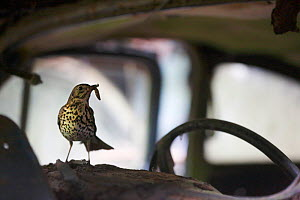 Song thrush (Turdus philomelos) with grub prey on the dashboard of an abandoned car in 'car graveyard' Varmland, Sweden, July - Pål Hermansen,Pal Hermansen