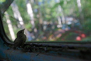 Young wren (Troglodytes troglodytes) in old abandoned car in a 'car graveyard' Bastnas, Sweden - Pal  Hermansen