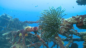 Feather star (Crinoid) attached to a sunken shipwreck, Maldives, Indian Ocean.  -  Michael Pitts