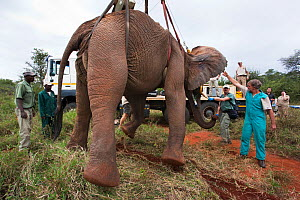 Wild elephant bull, (Loxodonta africana), hoisted into position by crane for vasectomy operation in bush by the Elephant Population Management Program team. Private game reserve in Limpopo, South Afri... - Ann  & Steve Toon