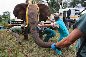 Wild elephant (Loxodonta africana), vas deferens, removed during keyhole surgery  in the bush.  Private game reserve in Limpopo, South Africa, April 2011.  Winner of the IUCN grant in the Melvita Natu... - Ann  & Steve Toon