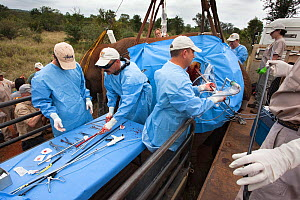 Team of Elephant Population Management Program surgeons perform vasectomy on wild elephant bull, (Loxodonta africana), using keyhole surgery.  Private game reserve in Limpopo, South Africa. April 2011... - Ann  & Steve Toon