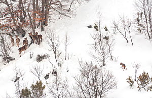Wolf (Canis lupus) approaches a small herd of Red deer (Cervus elephas) in snow, Abruzzo, Italy. Highly commended in the Mammals category of the GDT Competition 2013  -  Bruno DAmicis,Bruno  D'Amicis
