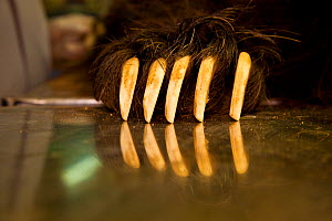 Claws of a tranquilized Sloth bear (Melursus ursinus) at the Wildlife SOS Rehabilitation Centre, Bannerghatta National Park, Karnataka, India, 2009. - Sandesh  Kadur