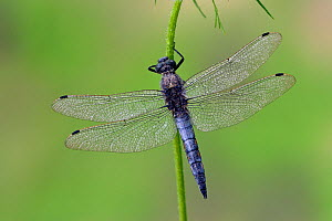 Male Black-tailed skimmer (Orthetrum cancellatum) with moisture on its wings, East Sussex, England, UK, July.  -  Andy Sands
