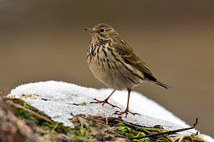 Meadow pipit (Anthus pratensis) in snow, Hertfordshire, England, UK, January.  -  Andy Sands
