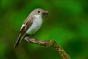 Female Pied flycatcher (Ficedula hypoleuca) with beak full of flies, Wales, UK, June.  -  Andy Sands
