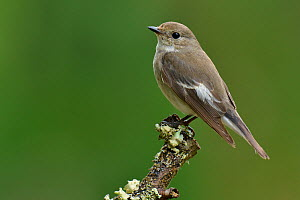 Female Pied flycatcher (Ficedula hypoleuca), Wales, UK, June.  -  Andy Sands