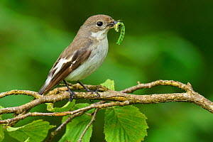 Female Pied flycatcher (Ficedula hypoleuca) with caterpillar prey, Wales, UK, June.  -  Andy Sands