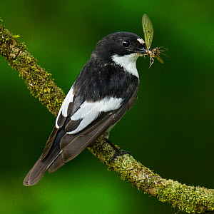 Male Pied flycatcher (Ficedula hypoleuca) with Mayfly prey, Wales, UK, June.  -  Andy Sands