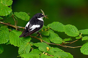 Male Pied flycatcher (Ficedula hypoleuca)with Mayfly prey, Wales, UK, June.  -  Andy Sands