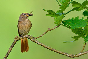 Female Redstart (Phoenicurus phoenicurus) perched with insect prey, Wales, UK, June. - Andy Sands