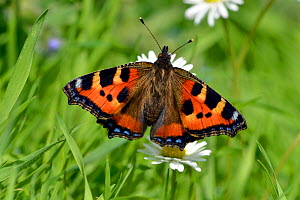 Small tortoiseshell butterfly (Aglais urticae) resting on Common daisy (Bellis perennis) flowers, Hertfordshire, England, UK, June  -  Andy Sands