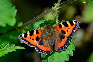 Small tortoiseshell butterfly (Aglais urticae) sunning itself on a Stinging nettle (Urtica dioica) leaf, Hertfordshire, England, UK, June. - Andy Sands
