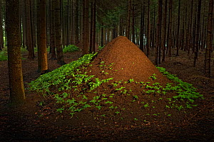 European Red Wood Ant (Formica polyctena) nests in pine forest, Hessen, Germany, July. - Ingo Arndt