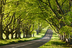 Cyclist riding along a beautiful beech lined country lane, Wimborne, Dorset, England. May 2012.  -  Adam Burton
