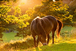 Exmoor National Park pony grazing in the evening summer sunshine at Valley of Rocks, Exmoor National Park, Devon. July 2012. - Adam Burton