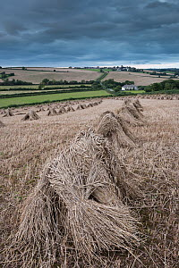 Traditional wheat stooks harvested for thatching, Coldridge, Devon, England. August 2012. - Adam Burton,Adam  Burton