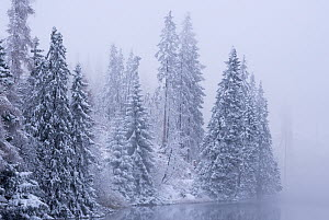 Snow covered pine trees in winter, High Tatras, Slovakia, Europe.  -  Adam  Burton