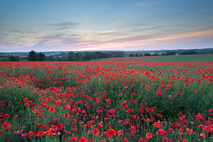 Wild poppy (Papaver rhoeas) field at sunset, Dorset, England. July 2013. - Adam  Burton