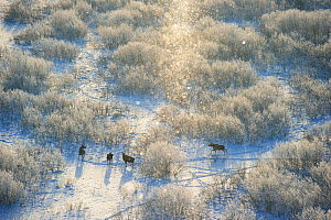 Moose (Alces alces) herd on a cold -18 C morning amongst frozen willow bushes, with snow, in Tartumaa, Estonia. January. Highly commended in the Mammals category of the GDT competition 2013.  -  Sven  Zacek