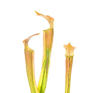 FYI - INSECT ON PLANT -An endangered plant, the mountain sweet pitcher plant (Sarracenia rubra ssp. jonesii) is found in the mountains of South Carolina and North Carolina. This plant was photographed...  -  Mac Stone