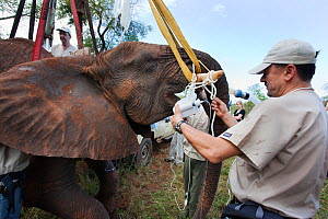 Vasectomy of wild elephant (Loxodonta africana), with Dr Jeff Zuba of the Elephant Population Management Program, senior associate veterinarian of the San Diego Zoologicial Society preparing the eleph...  -  Ann  & Steve Toon