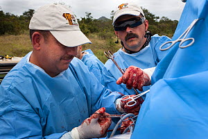Elephant Population Management Program surgeon Dr Johan Marais, left, of the University of Pretoria's Faculty of Veterinary Science assisted by Dr Dean Hendrickson, director of Colorado State Universi...  -  Ann  & Steve Toon