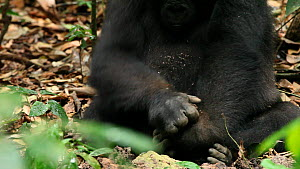 Close-up of a young Western gorilla (Gorilla gorilla) 'Tembo', member of the 'Makumba' group, breaking open a termite nest and eating termites, Bai Hokou, Dzanga-Ndoki National Park, Sangha-Mbaere Pre...  -  Jabruson Motion