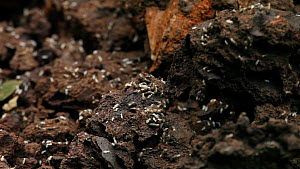 Close-up of termites on a termite nest broken up by Western gorillas (Gorilla gorilla), with pieces of nest falling into the frame, Bai Hokou, Dzanga-Ndoki National Park, Central African Republic.  -  Jabruson Motion