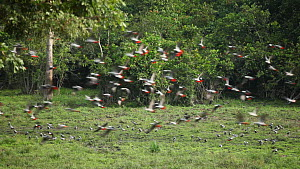 Flock of Congo african grey parrots (Psittacus erithacus erithacus) taking off from feeding on aquatic plants in a forest clearing, shot pans from right to left with the flock, Dzanga Bai, Dzanga-Ndok... - Jabruson Motion