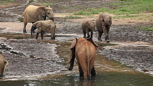 Group of African forest elephants (Loxodonta cyclotis) at a mineral dig in a forest clearing, with a flock of Congo african grey parrots (Psittacus erithacus erithacus)flying past, Dzanga Bai, Dzanga-...  -  Jabruson Motion