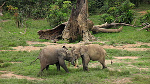 Two male African forest elephants (Loxodonta cyclotis) play fighting in a forest clearing, Dzanga Bai, Dzanga-Ndoki National Park, Sangha-Mbaere Prefecture, Central African Republic.  -  Jabruson Motion