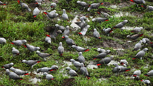 Flock of Congo african grey parrots (Psittacus erithacus erithacus) feeding on aquatic plants in a forest clearing, Dzanga Bai, Dzanga-Ndoki National Park, Sangha-Mbaere Prefecture, Central African Re... - Jabruson Motion
