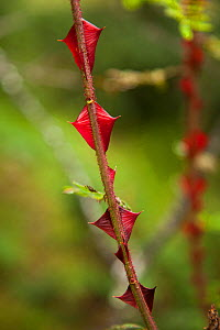 Rosa omeiensis (Rosa omeiensis) stem showing thorns, Gonggai Shan Nature Reserve, Kangding / Dartsedo, Tibet, China, August.  -  Dr.  Axel Gebauer