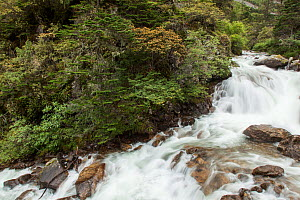 River lined with Rhododendron (Rhododendron) trees, flowing through Gonggai Shan Nature Reserve, Kangding / Dartsedo, Tibet, China, August.  -  Dr.  Axel Gebauer