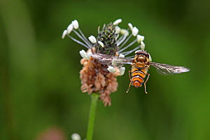 Marmalade Hoverfly (Episyrphus balteatus) alighting on plantain (Plantago sp) Surrey, England, July - Kim Taylor