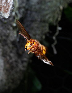 European Hornet (Vespa crabro) queen approaching nest. Surrey, England, May - Kim Taylor