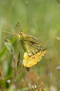 Clouded Yellow Butterfly (Colias croceus) mating pair. Croatia, June - Kim Taylor