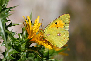 Clouded Yellow Butterfly (Colias croceus) male feeding on yellow thistle, Croatia, June  -  Kim Taylor