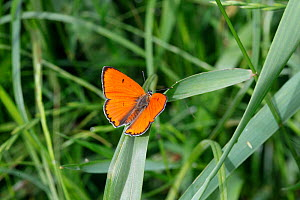 Large Copper (Lycaena dispar) male on grass, Croatia  -  Kim Taylor