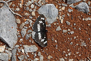 Southern White Admiral butterfly (Limenitis reducta) puddling, Croatia, June  -  Kim Taylor