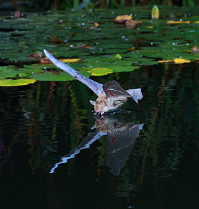 Natterer's Bat (Myotis nattereri) drinking in flight from a lily pond. Surrey, England, June - Kim Taylor