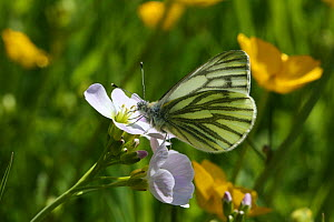 Green-veined White Butterfly (Pieris napi) male feeding from Cuckoo Flower. Wales, June - Kim Taylor