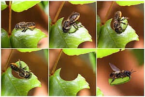 Leaf-cutting Bee (Megachile species) sequence showing cutting leaf section from rose. Read from top left. Surrey, England. Digital composite. - Kim Taylor