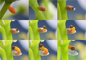 Orange-tip Butterfly (Anthocharis cardamines) egg on Garlic Mustard (Alliaria petiolata) sequence from new laid to hatch. Read from top left. Surrey, England. Digital composite  -  Kim Taylor
