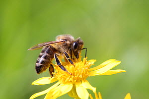 RF- Honey Bee (Apis mellifera) worker gathering nectar from Ragwort. Surrey, England, August (This image may be licensed either as rights managed or royalty free.)  -  Kim Taylor