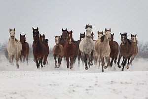 A group of Pure Arab, Shagya Arab and East Bulgarian fillies running in snow, Kabiuk National Stud, Shumen, Bulgaria.  -  Kristel  Richard